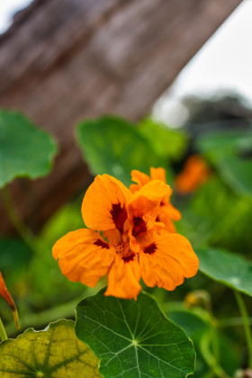 Stock Image: Tropaeolum majus, the garden nasturtium