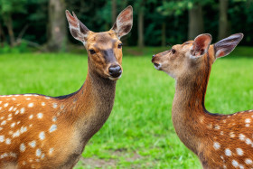 Stock Image: Two beautiful deer