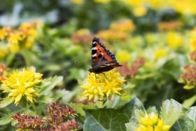 Stock Image: vanessa atalanta butterfly