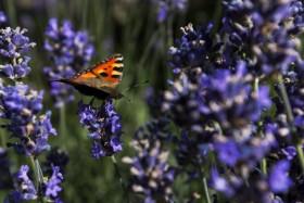 Stock Image: vanessa atalanta butterfly on  lavender