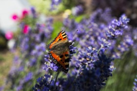 Stock Image: vanessa atalanta butterfly sitting on lavender