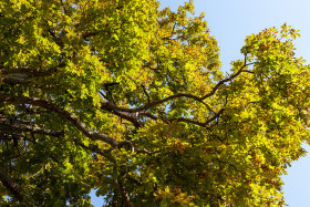 Stock Image: View up to a chestnut tree