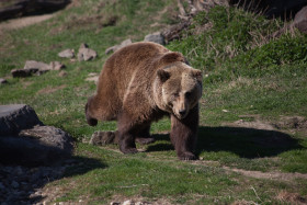 Stock Image: walking grizzly bear