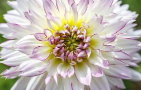 Stock Image: White Dahlia Flower Close-Up