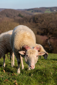 Stock Image: White grazing sheep in the meadow