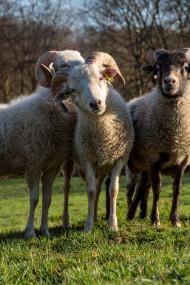 Stock Image: White Sheep