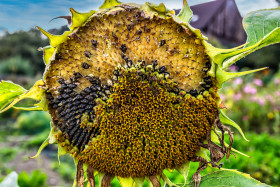 Stock Image: Withered sunflower with a view of the sunflower seeds