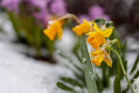 Yellow daffodils in april snow