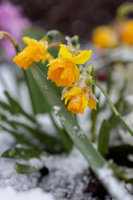 Yellow daffodils in the snow