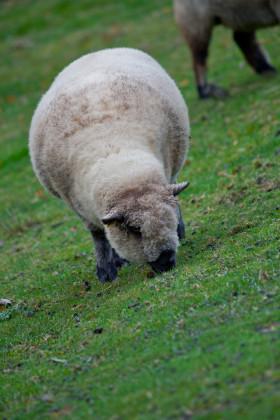 Stock Image: young sheep